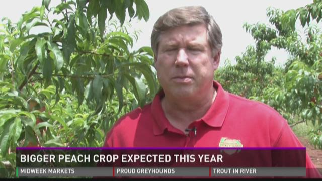 Bigger peach crop expected this year
