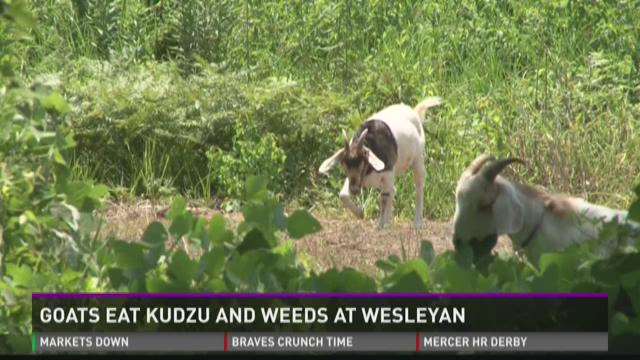 Goats eat kudzu and weeds at Wesleyan